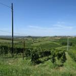 Weinberge in der Toskana zwischen Montecatini Terme und Florenz