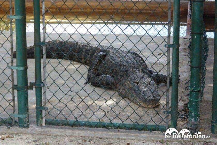In diesen Gehegen konnten wir auch sehr stattliche Alligatoren begutachten
