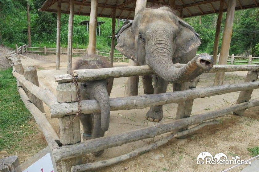 Ein Elefantenbaby nimmt pro Tag ungefähr ein Kilogramm Körpergewicht zu