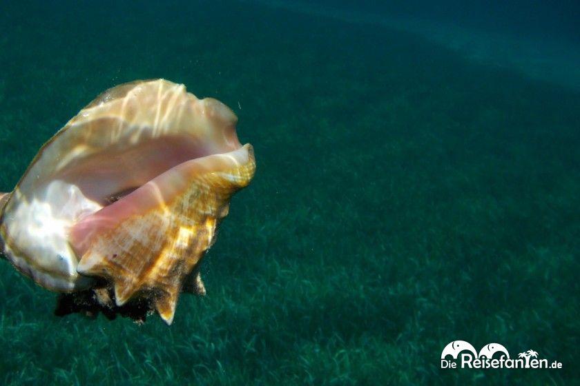 Muschel in der West Bay auf Roatan