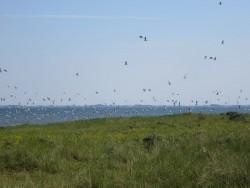 Vogelschwarm über dem Weltnaturerbe Wattenmeer
