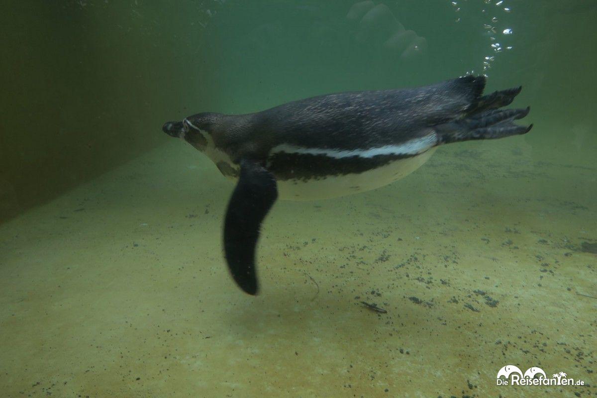 Ein Humboldt-Pinguin im Luisenpark Mannheim