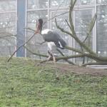 Ein afrikanischer Storch trägt Material zum Nestbau herum