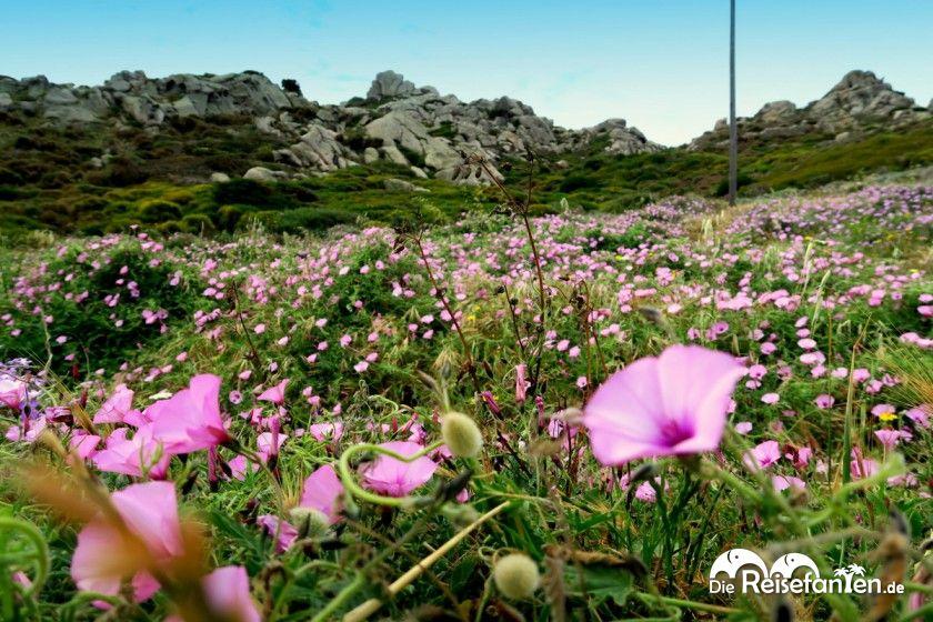 Im Mai blühen die Blumen auf Sardinien