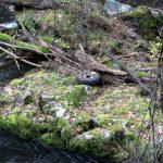 Auch ein Autoreifen lässt sich im Uferbereich der Bode im Bodetal im Harz entdecken