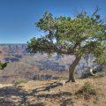 Baum am südlichen Rand des Grand Canyon Nationalparks