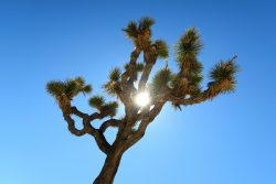 Josuabaum auch bekannt als Joshua Tree