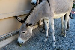 Esel in Oatman in Arizona
