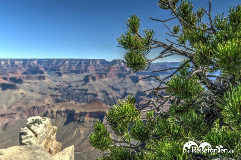 Nadelbaum im Grand Canyon Nationalpark