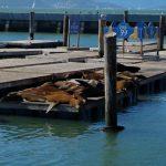 Seelöwen am Pier 39 in San Francisco