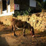 Esel auf Mykonos