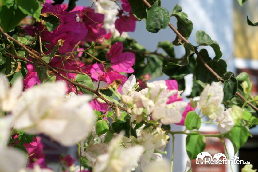 Bunte Blumen in Fira auf Santorini