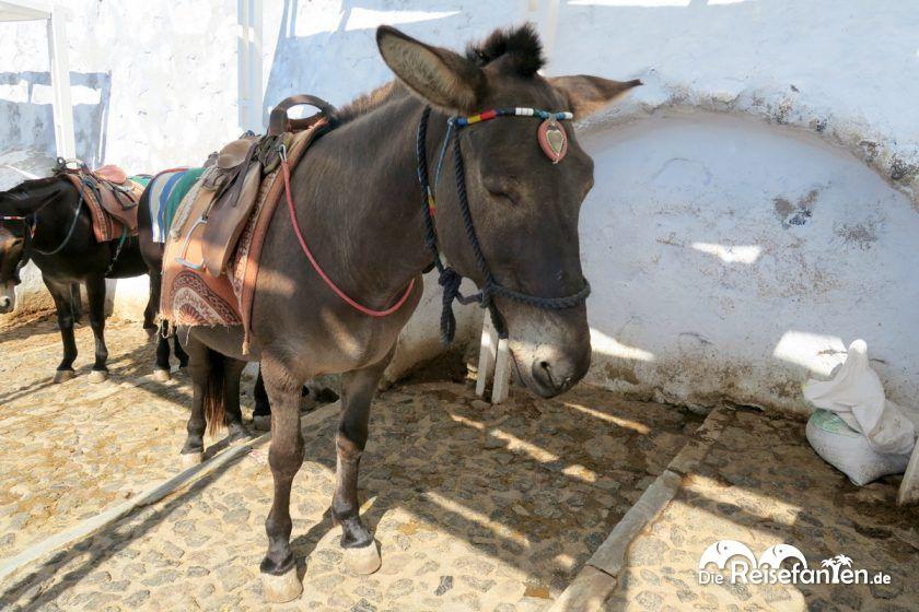 Die Esel von Fira sehen schon traurig aus