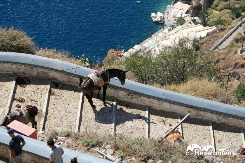 Ein Esel auf dem Weg zum Alten Hafen unterhalb Firas