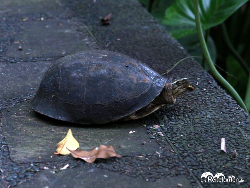 Eine Schildkröte im Botanischen Garten in Singapur