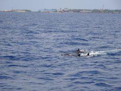 Delfine auf den Malediven