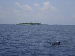Delfine begleiteten unser Boot auf den Malediven