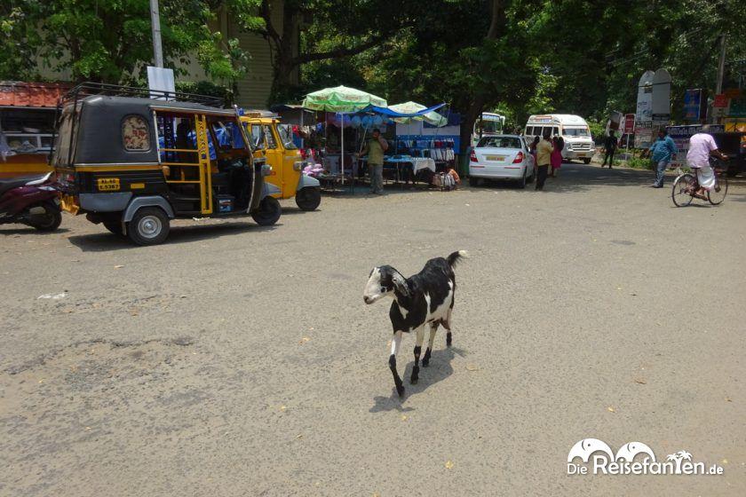 Frei laufende Tiere findet man in Cochin auch immer wieder auf der Strasse