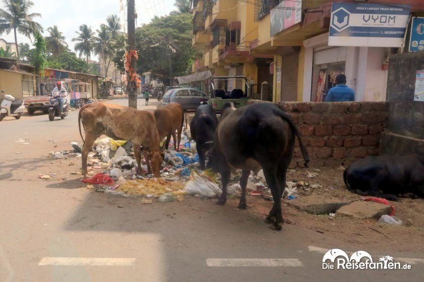 Kühe fressen den Müll auf der Straße in Indien