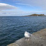 Möwe auf der irischen Halbinsel Howth