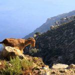 Ziegenbock auf Ikaria