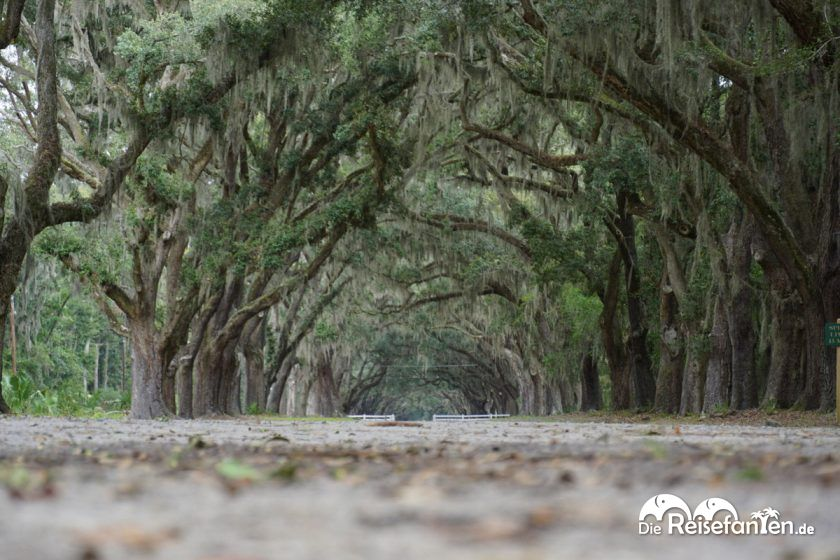 Imposante Allee auf der Wormsloe Plantation in Savannah