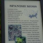Info zum Spanischen Moos auf der Wormsloe Plantation in Savannah