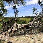 Umgestürzter Baum auf der Wormsloe Plantation in Savannah