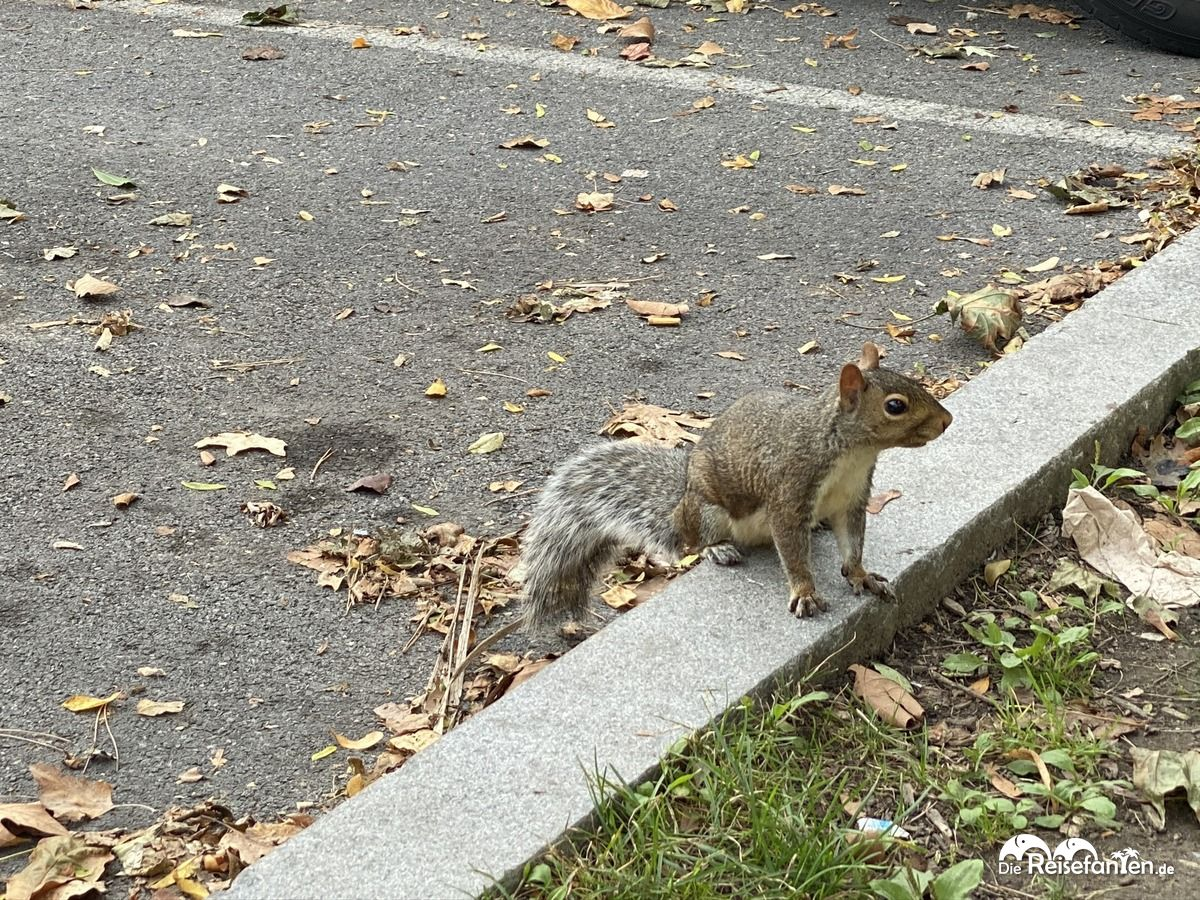 Grauhörnchen am Parkplatz