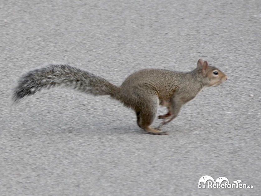 Grauhörnchen in Bewegung