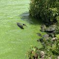 Grünes Wasser am Zwischenahner Meer