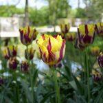 Auch Tulpen gibt es im Rhododendronpark in Bremen