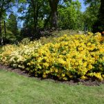 Gelbes Meer im Rhododendronpark in Bremen