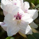 Im Rhododendronpark in Bremen blühen die Pflanzen in den verschiedensten Farben