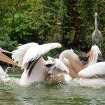 Pelikane im Luisenpark Mannheim