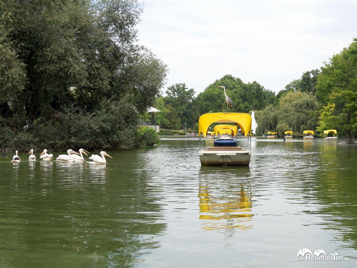 Pelikane und ein blinder Passagier der Gondoletta im Luisenpark Mannheim