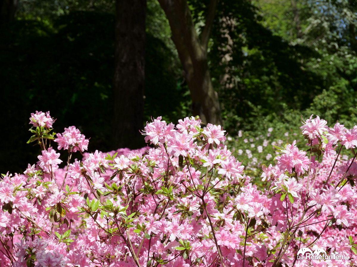 Rosa im Rhododendronpark in Bremen