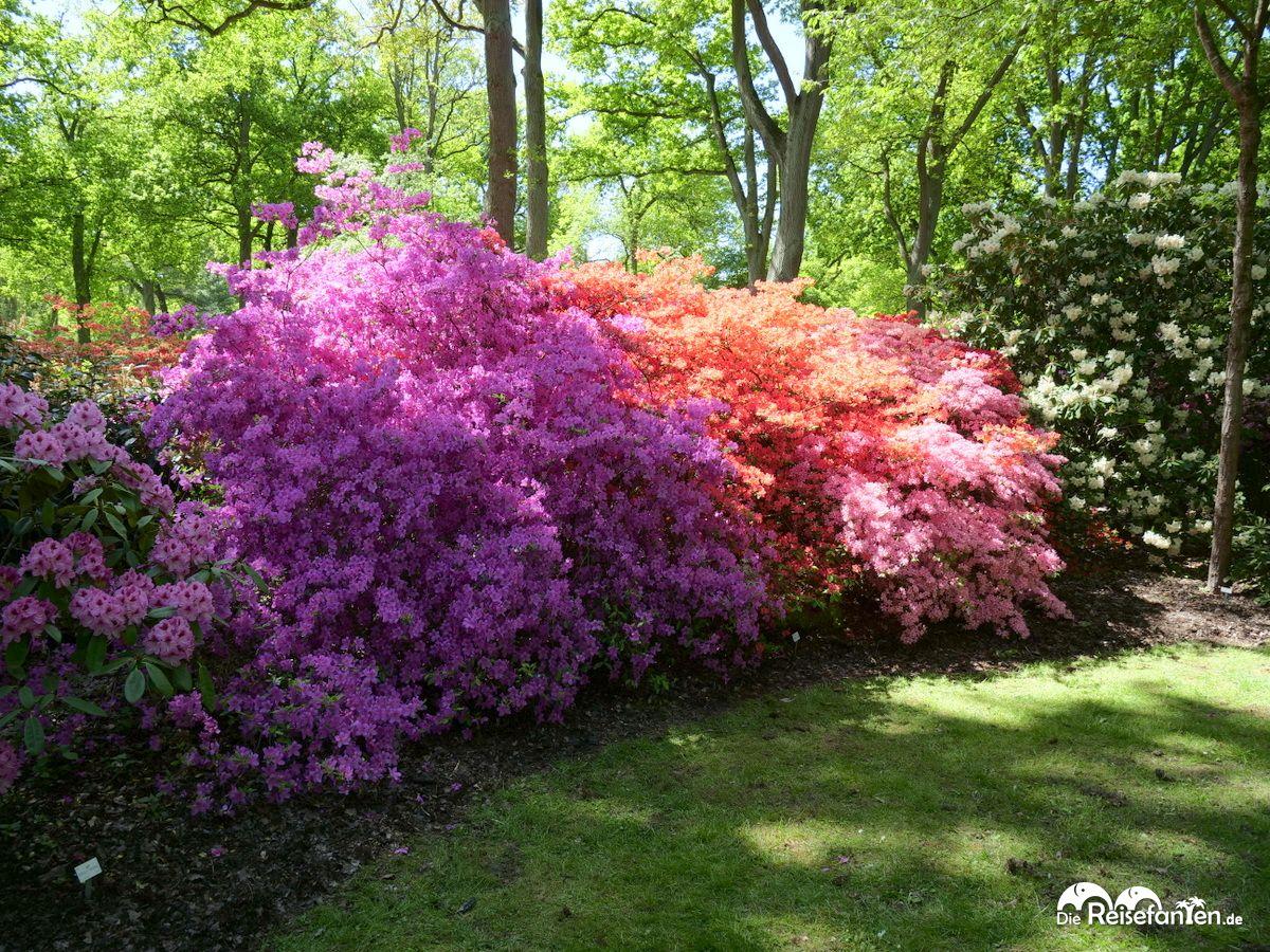 Unzählige Blüten im Rhododendronpark in Bremen