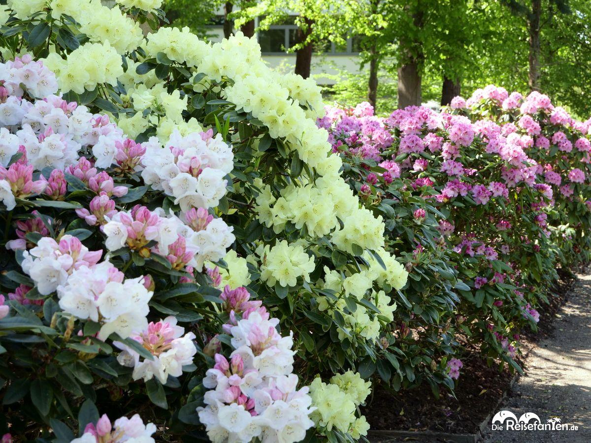 Verschiedene Farben im Rhododendronpark in Bremen