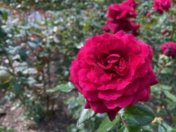 Rosen im Rosengarten in Überlingen