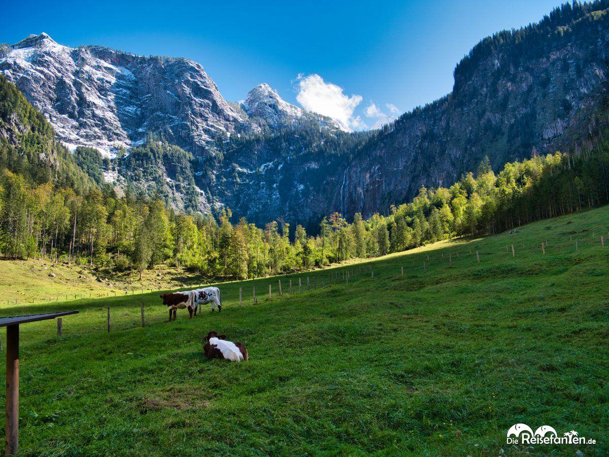 Friedliche Kühe nahe der Fischunkelalm am Obersee