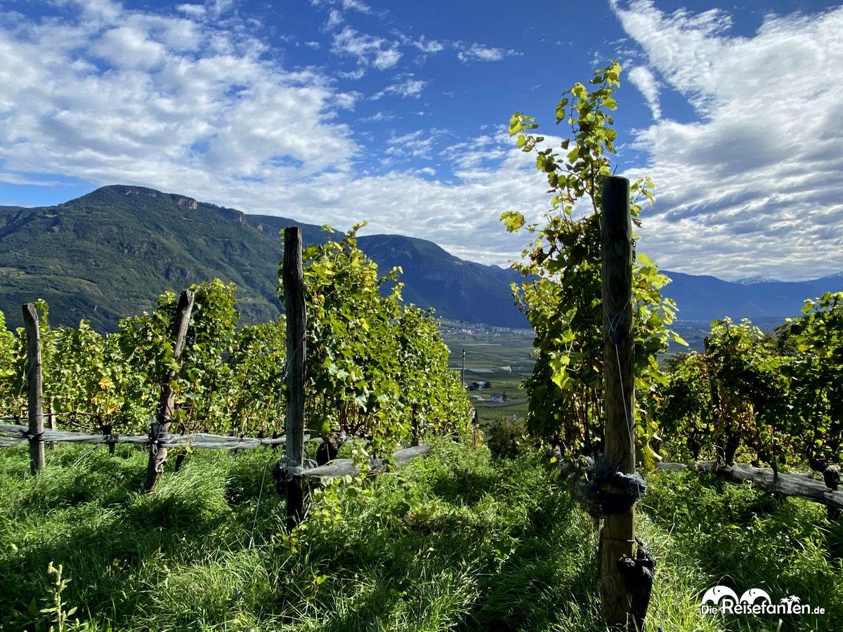 Weinreben in Nals in Südtirol