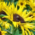 Sonnenblume in Nahaufnahme in den Gärten von Schloss Trauttmansdorf
