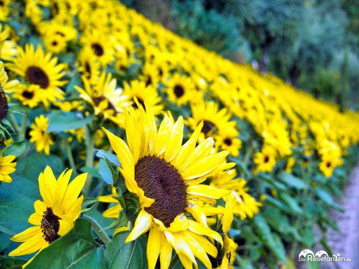 Sonnenblumen in den Gärten von Schloss Trauttmansdorf