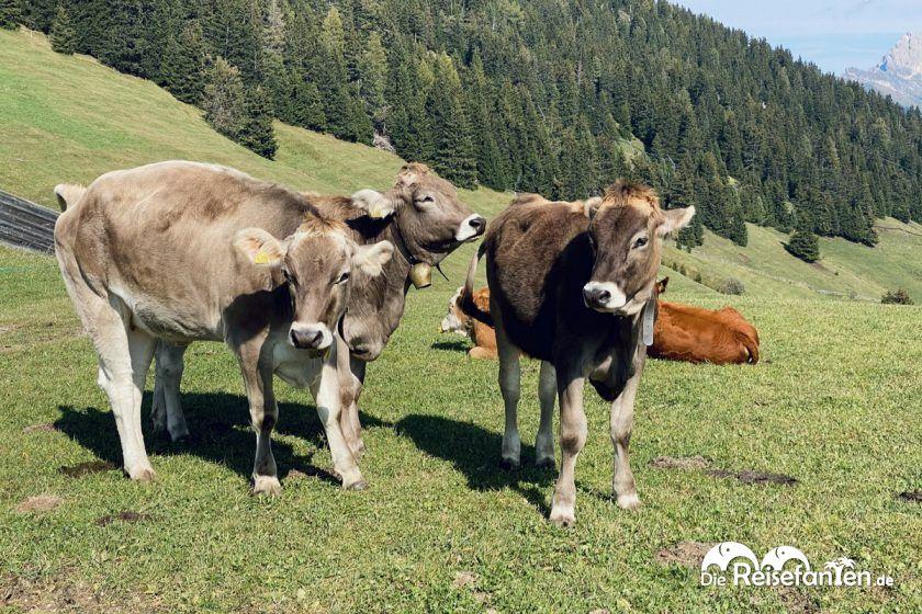 Almkühe auf der Seiser Alm in Südtirol