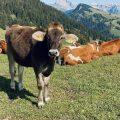 Almkuh auf der Seiser Alm in Südtirol