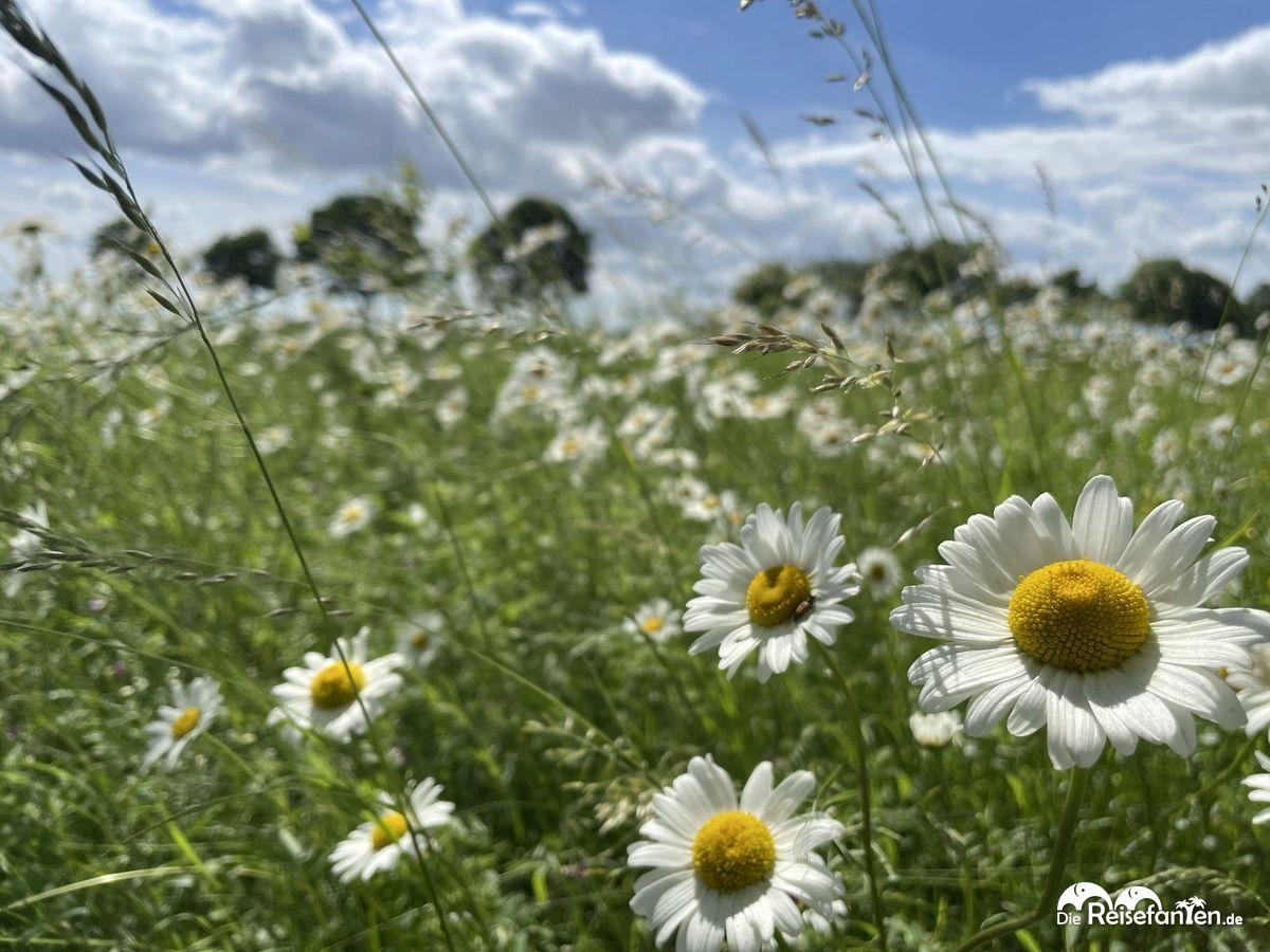 Blumenwiese bei Etelsen