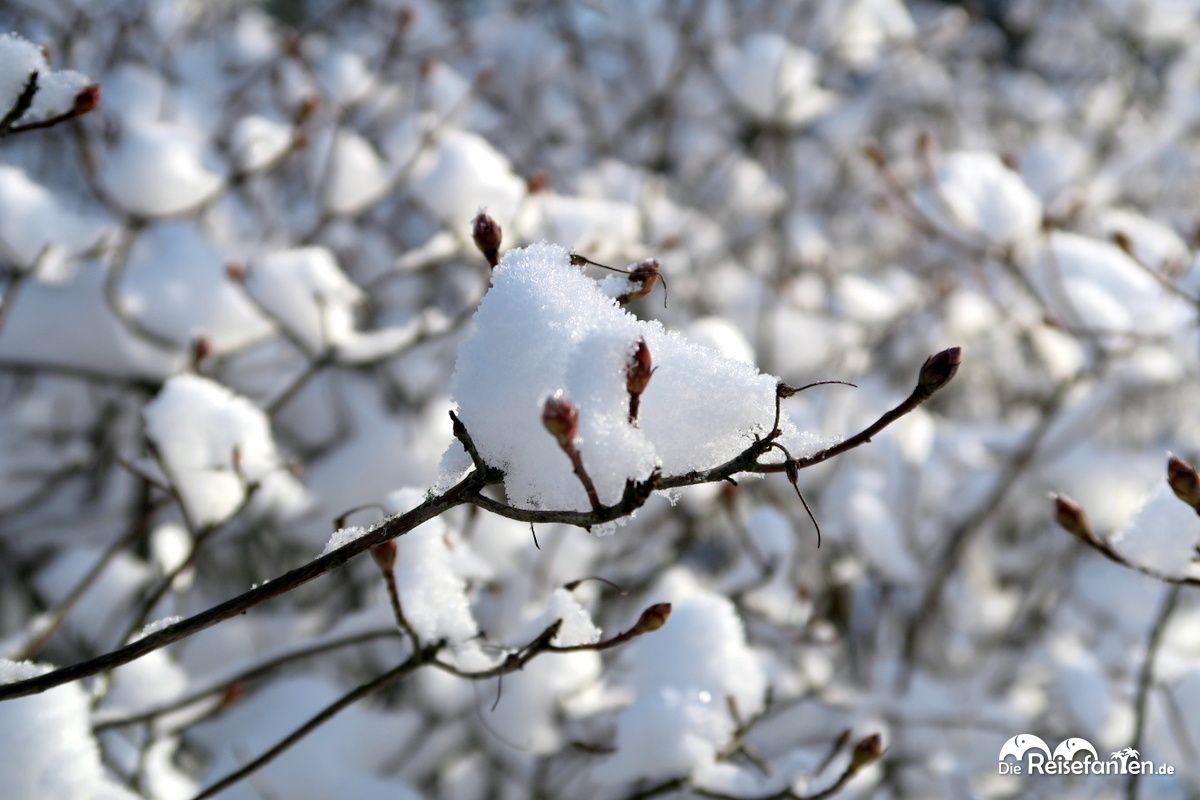 Viel Schnee für den kleinen Ast im Rhododendron Park in Bremen im Januar 2021