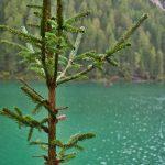 Ein Baum am Pragser Wildsee