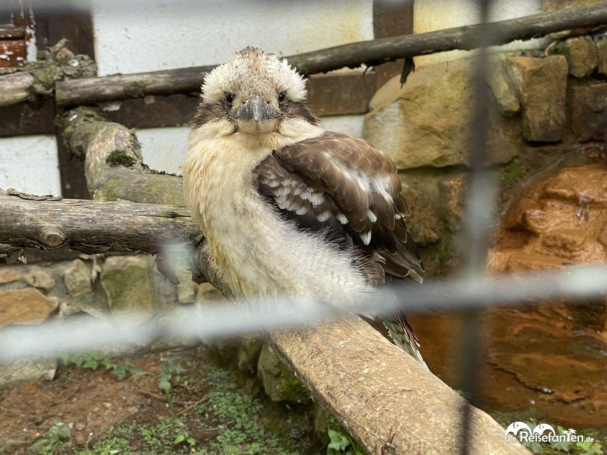 Ein Lachender Hans im Vogelpark Haßloch